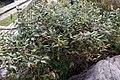 Leucothoe fontanesiana Rollisonii 1zz.jpg
