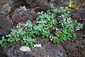 Lewisia cotyledon var. heckneri - Dunsmuir Botanical Gardens - DSC02923.JPG
