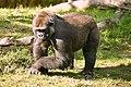 Lightmatter silverback gorilla.jpg