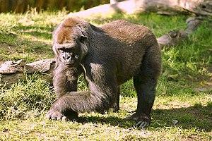 Westlicher Gorilla (Gorilla gorilla)