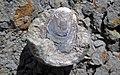 Lingula sp. (fossil brachiopod) in nodule (Rushville Shale, Lower Mississippian; Trinway West 6 Outcrop, Rt. 16 roadcut northeast of Frazeysburg, Ohio, USA) 3 (28407186138).jpg