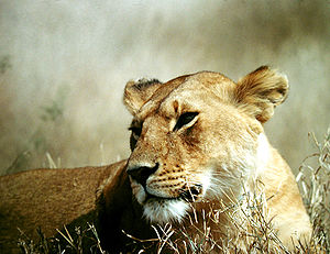 Lioness of the Serengeti.JPG