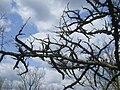 Liquidambar styraciflua, Arnold Arboretum - IMG 5993.JPG