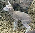 Little lamb (2953360890).jpg