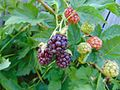 Loganberries on the plant.jpg