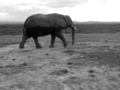 Lone African Elephant.png
