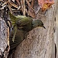 Long-billed greenbul climbing.jpg