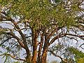 Long-pod Cassia (Cassia abbreviata) (11451699575).jpg