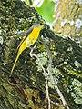 Long-tailed Minivet (14363105638).jpg