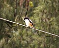Long-tailed Shrike. Lanius schach (48837782522).jpg