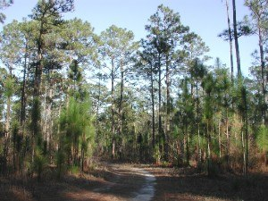 Yellow pine - A forest of longleaf pine, one of the varieties of Southern Yellow Pine