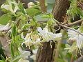 Lonicera fragrantissima1.jpg