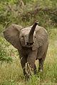 Loxodonta africana 4 (Martin Mecnarowski).jpg