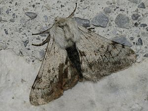 Alpenspanner (Lycia alpina)