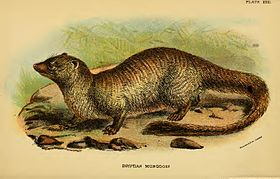 Lydekker - Egyptian Mongoose.jpg