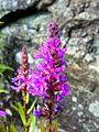 Lythrum salicaria 050720085869kattehale.jpg