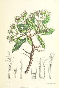 MELLISS(1875) p399 - PLATE 42 - Pretobium Arboreum.jpg