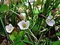 MOs810 WG 2018 8 Zaleczansko Slaski (Natural reserve Modrzewiowa Gora) (Oxalis acetosella).jpg