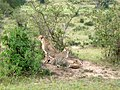 Maasai Mara National Park.Cheetahs - panoramio.jpg