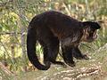 Macaco prego Manduri 060811 REFON 4.JPG