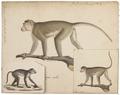 Macacus pileatus - 1818-1842 - Print - Iconographia Zoologica - Special Collections University of Amsterdam - UBA01 IZ20000049.tif