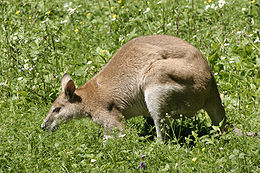 Fürge wallaby (Macropus agilis)