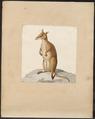 Macropus giganteus - 1700-1880 - Print - Iconographia Zoologica - Special Collections University of Amsterdam - UBA01 IZ20300230.tif