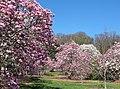 Magnolias at National Arboretum (25367769033).jpg