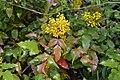 Mahonia aquifolium4.jpg