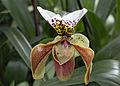 Mainau - Orchideen - Frauenschuh 002.jpg