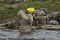 Male? child Polar bear playing (4-5) (20334777159).jpg