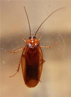 <i>Parcoblatta uhleriana</i> species of insect