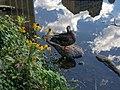 Mallard in Central Park 2.jpg