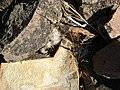 Mammillaria guelzowiana (5729371095).jpg