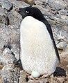 Manchot Adelie - Adelie Penguin.jpg