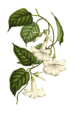 Chilenischer Jasmin (Mandevilla laxa) – Illustration