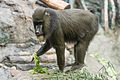 Mandrill Eating Lettuce (21386918023).jpg