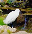 Manila Zoo Egret by TeamJonalynViray.jpg