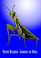 Mantis religiosa Langosta de pesca - Israel Espinoza Aliaga.jpg