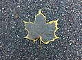 Maple Leaf (30451541305).jpg