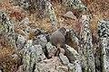 Marmota flaviventris (29820258141).jpg
