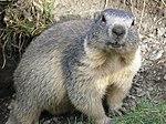 Marmota marmota Alpes2.jpg