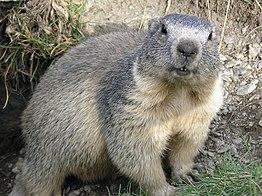 Alpa marmoto en regiona parko de Queyras en Francio