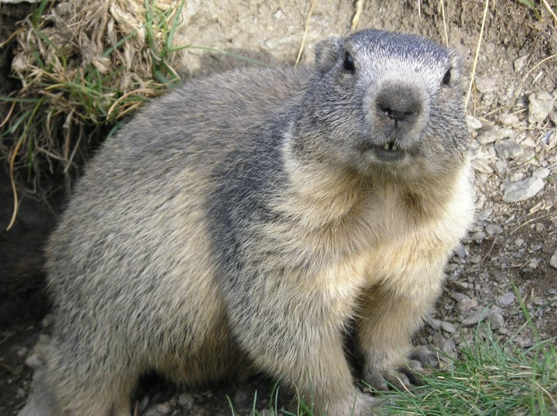 http://upload.wikimedia.org/wikipedia/commons/thumb/2/26/Marmota_marmota_Alpes2.jpg/800px-Marmota_marmota_Alpes2.jpg