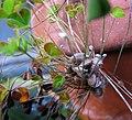 Marsilea villosa (5187616783).jpg
