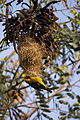 Masked weaver - Queen Elizabeth National Park, Uganda (3).jpg