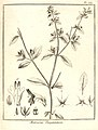 Matourea pratensis Aublet 1775 pl 259.jpg