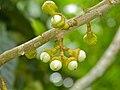Medang Burong (Actinodaphne glomerata) fruits (8082773399).jpg