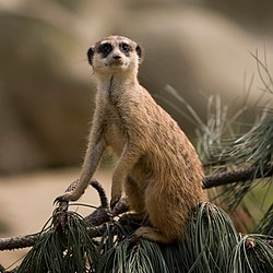 Meerkat at the Köln Zoo.jpg