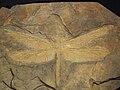 Meganeura fossil 1.JPG